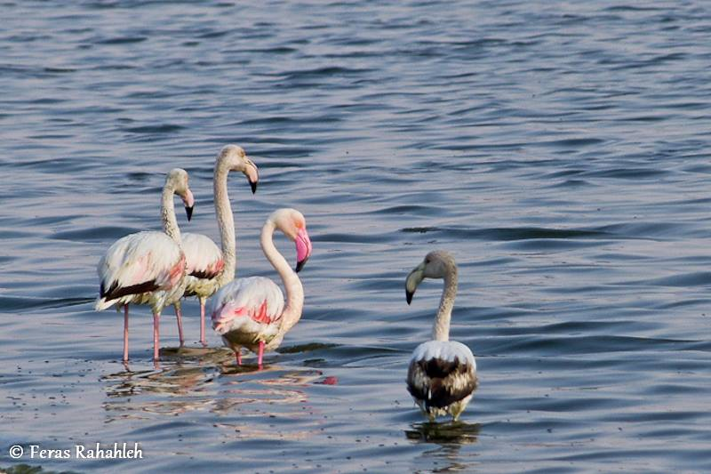 flamingo abo